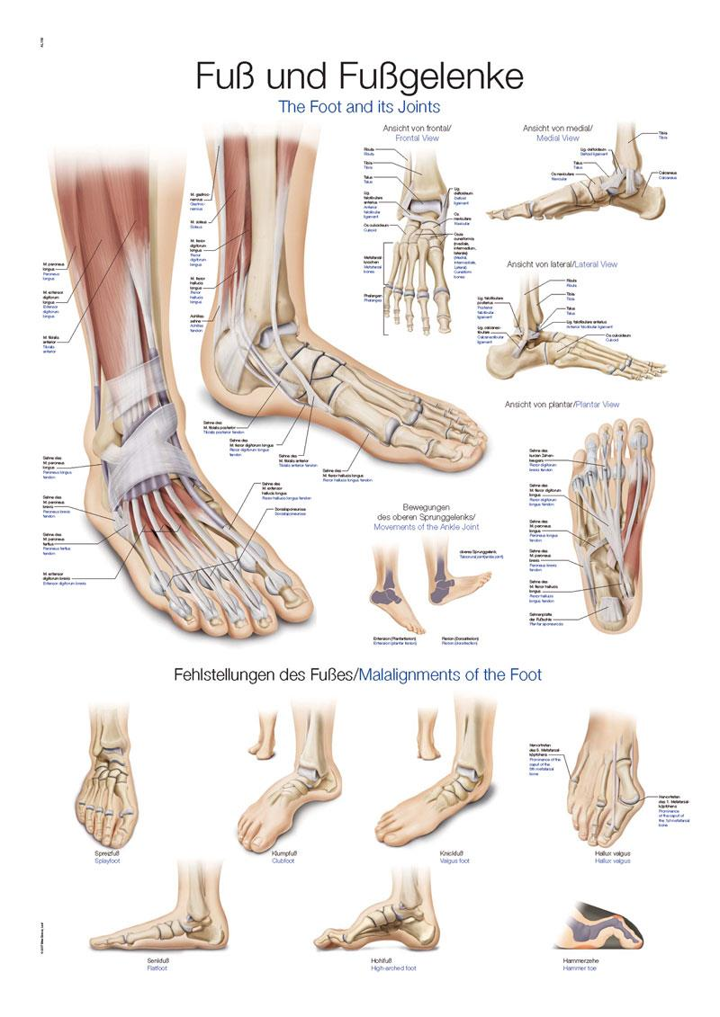 AL155   Plakat Foot and Ankle AL155